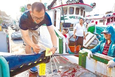 東港船長洪福春的兒子正為黑鮪綁上黃色標籤,並依「太平洋黑鮪作業管理規定」秤重、丈量體長,將相關資料填報漁業管理單位。(黃子明攝)