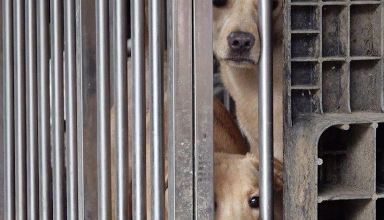剛救援過來的狗兒情緒不穩,具攻擊性,照護員得時時提防被咬,人狗之間需要一段時間的磨合,加上耐心與愛心,再兇的狗最後也會卸下心防。(季志翔攝)