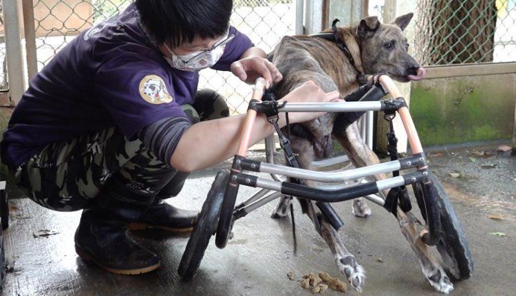 每天照護員必須與十多隻狗在屎尿中奮戰,徒手幫他們擠大便與尿尿,以免尿毒累積在身體裡面危害健康。(季志翔攝)