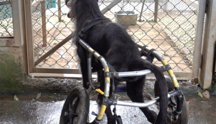 剛剛被吊掛上輪椅的癱瘓犬,已經迫不急待的在鐵門前等候準備每天他最期待的放風時間。(季志翔攝)