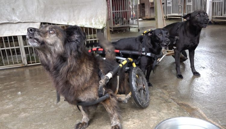 犬山居的復健治療,輔助以特製的輪椅仍可以幫助許多癱瘓犬站起來,數年下來前前後後總共收養了60隻殘障狗,也治癒成功15隻。(季志翔攝)