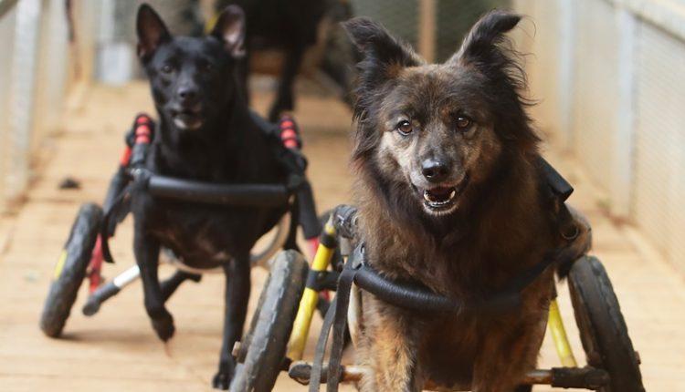 鐵門打開,十多隻只有前腳,拖著有二個輪子鋁架的小狗爭先恐後一湧而上,享受著與正常的毛小孩一樣奔馳的快感。(季志翔攝)